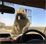 Monkeys on top of Maureen's car in Uganda, Africa